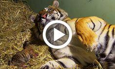 Το να δούμε ένα ζώο να γεννάει είναι ένα προνόμιο που λίγοι από εμάς έχουμε την…