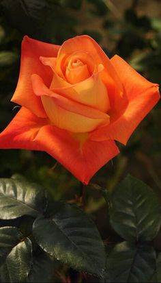 Captivating Why Rose Gardening Is So Addictive Ideas. Stupefying Why Rose Gardening Is So Addictive Ideas. Beautiful Rose Flowers, Romantic Roses, Love Rose, Flowers Nature, Amazing Flowers, Orange Flowers, Red Roses, Black Roses, Rose Reference