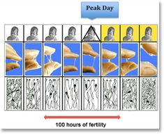 How to detect your cervix position cp and cervical mucus - Tomber enceinte apres fausse couche naturelle ...