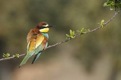 Abelharuco (Merops apiaster) by jose.macedo, via Flickr