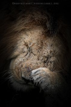 65 Best Lion Coalitions     images in 2019   Lion, Animals, Cats