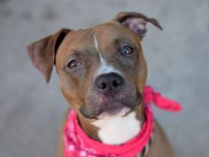 TO BE DESTROYED - 12/4/14 Brooklyn Center -P My name is HAZEL. My Animal ID # is A1021515. I am a female brown and white pit bull mix. The shelter thinks I am about 1 YEAR 6 MONTHS old. ***NO TIME FOR BEAUTIFUL GIRL THAT LIKES EVERYONE!!! Friendly~ Playful~ Gets along w/ kids/ strangers/ dogs ~ Allowed all handling ~ High energy: A great exercise/running/walking buddy ~ Loves to take baths~ Very affectionate ~ SO DESERVES A CHANCE AT A LOVING HOME!!!!  6