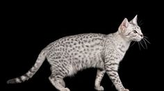 Wallpaper egyptian mau, cat, color, spotted