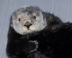 Which new otters might you see when our exhibit re-opens March 23? This is one! Meet Gidget in Countdown to Cuteness!  Check it out via your Desktop.  Via your mobile.