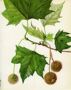 Botanical Drawings, Botanical Prints, London Plane Tree, Wonder Art, Artwork Images, Tree Print, Nature Decor, Nature Prints, Hanging Wall Art