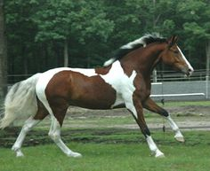 Image result for gaited horse