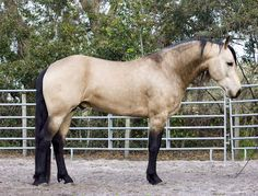 Buckskin Friesian-Quarter Horse stallion
