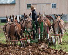 This Amish paradise goes beyond organic farming Grist Amish Pie, Amish Farm, Amish Country, Country Farm, Country Life, Country Living, Country Kitchen, Amish Family, Organic Gardening Tips