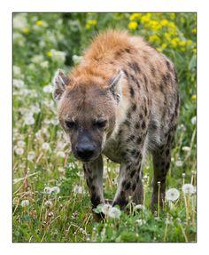 Hyäne auf Löwenzahn  :-) http://fc-foto.de/31043588