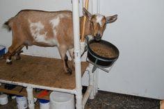 Dariy goat manners on the milk stand.Re-Pinned by: https://www.facebook.com/homebazaarllc