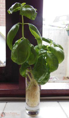Basilicum kweken uit stekjes Als je geen tuin hebt, maar toch zelf basilicum wil kweken is er een simpele manier. Je koopt een (biologisch) plantje bij de supermarkt of natuurvoedingwinkel. Meer lezen: https://www.facebook.com/photo.php?fbid=500997736620396=a.230892966964209.65074.230748310312008=1