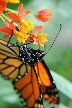 Peering into the black and white polka dot world of a Monarch Butterfly! by jungle mama, via Flickr