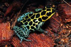 Tarapoto thumbnails these my frogs!