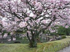京都二条城〜御所御車返し桜|おじゃかんばん『フォトブラ☆散歩物語』