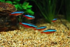 A very peaceful marine fish the catalina goby the for Petco small fish tank
