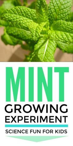Growing mint in water is a super cool plant science biology experiment for kids from preschool and kindergarten to high school in the classroom and in home learning. Explores propagation and photosynthesis. Plant Experiments, Biology Experiments, Plant Science, Science Biology, Life Science, Stem Activities, Activities For Kids, Activity Ideas, Learning Activities