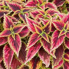 Each leaf is a mini masterpiece blending shades of dark burgundy and maroon on a vigorous plant whose serrated leaves are edged in gold. This upright variety forms a bushy mound that can hold its own in patio pots and borders or flatter a wide variety of companions.  The endlessly varied foliage of Coleus has made a comeback as gardeners rediscover old varieties and breeders introduce new ones. Our selection offers a diversity of foliage color, leaf shape, and growth habit, and they all make…