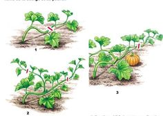 Taille de la courge et du potiron - <br>J. Bordier -l'ABC du potager - Rustica éditions Permaculture Principles, Permaculture Design, Potager Bio, Potager Garden, Easy Garden, Garden Art, Small Gardens, Outdoor Gardens, Plantar