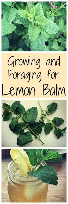 Growing and Foraging for Lemon Balm~ The lemony mint family plant that may already be growing in your yard. Plus an iced tea recipe! www.growforagecookferment.com: