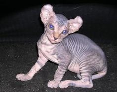 I want one of these cats! The Elf Cat is a cross between the hairless Sphynx and the American Curl known for its twisted ears Rare Cats, Exotic Cats, Cats And Kittens, Kitty Cats, Wise Animals, Unique Animals, Elf Cat, American Wirehair, Purebred Cats