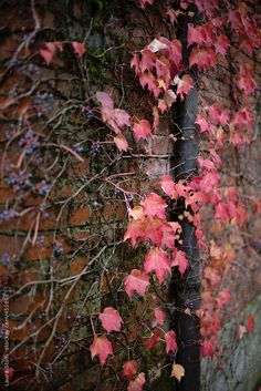 Side view of red ivy leaves and blue berries climbing on old bricks wall