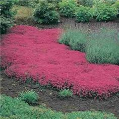 Walk on Me Plant...A crimson carpet! Walk-On-Me Plant is a creeping thyme that grows only 3'' tall. (Also called Mother of Thyme). Plant around flagstones or for a decorative, dense-growing ground cover. Walk on it and the whole area will be filled with the aromatic smell of fresh thyme.