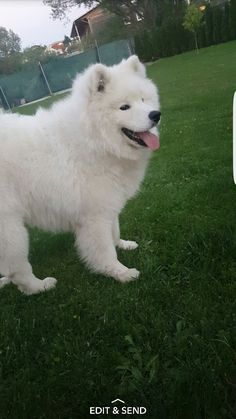 My little samoyed ^^ 8 months old