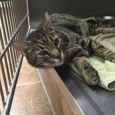 Pictures of Calypso a Domestic Shorthair for adoption in Martinsburg, WV who needs a loving home.