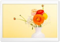 Persian Buttercup - Ranunculus Asiaticus HD Wide Wallpaper for Widescreen