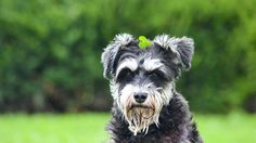 10 Gentlemanly Facts About the Miniature Schnauzer | Mental Floss