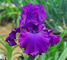 ~Tall Bearded Iris 'Shoptalk' (Iris )