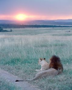 Lions and sunset over Masai Reserve kenya