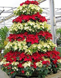 Poinsettia Tree::Molbak's in Woodinville, WA used to do one every year. A magical place to visit anytime, but especially at Christmas!