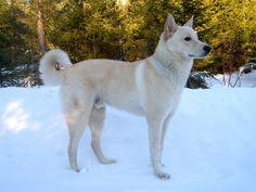 Kanaan Hund – Wikipedia