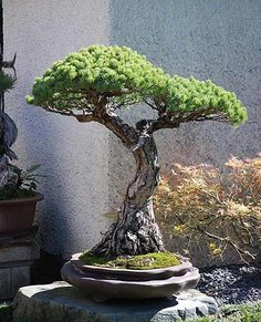 Pine bonsai - great bark, taper, and movement.