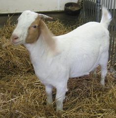 Hi! I am a Boer goat. I have a white body with a brown head and long, floppy ears. Boer goats were not bred in Canada until the early 1990s. We are the most popular goat meat breed in the world.