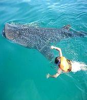 Whale Shark Eco Travel Mexico
