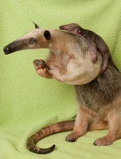 Spectacular Baby Anteater Photos from Discovery Cove The Animals, Cute Baby Animals, Funny Animals, Wild Animals, Beautiful Creatures, Animals Beautiful, Tier Fotos, Pet Birds, Mammals