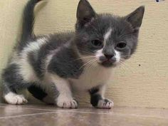 RESCUED!!! TO BE DESTROYED 7/11/14 ** BABY ALERT! ONLY 5 WEEKS OLD! 3 Friendly young kittens A1005816, 817, 818 came together Came without nursing queen Can eat on own- has very good app ** Manhattan Center  My name is BESSIE. My Animal ID # is A1005818. I am a female white and gray domestic sh mix. The shelter thinks I am about 5 WEEKS old.  I came in the shelter as a STRAY on 07/07/2014 from NY 10453, owner surrender reason stated was STRAY. I came in with Group/Litter #K14-184895.