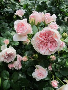 rose garden on pinterest climbing roses david austin roses and english roses. Black Bedroom Furniture Sets. Home Design Ideas