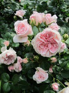 rose garden on pinterest climbing roses david austin roses and english roses. Black Bedroom Furniture Sets. Home Design Ideas
