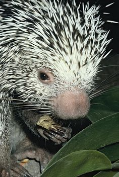 Prehensile-tailed Porcupine (Coendou prehensilis) | Flickr - Photo Sharing!