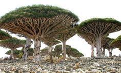 Socotra Island-Another tree is a canopy-topped Dragon Blood Tree. It gets it's name from the red resin that flows from the tree trunk.