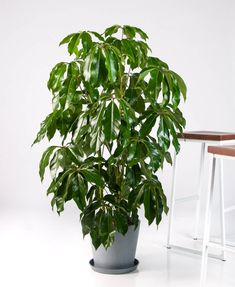 Buy Bloomscape Potted Schefflera Amate All Plants, Water Plants, Indoor Plants, Umbrella Tree, High Humidity, Plants Online, Plant Care, Houseplants, Lush