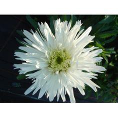 £4.50 Leucanthemum 'Aglaia'