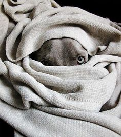 These dogs and blankets.if a Weimaraner shares your space, you already know. Baby Dogs, Pet Dogs, Dogs And Puppies, Dog Cat, Doggies, Boo Dog, I Love Dogs, Puppy Love, Tier Fotos