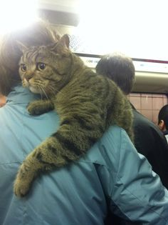 Tabby Cats Fluffy Literally Just 19 Very Large Cats - The bigger the cat the better, unless it's too big, in which case it's probably a lion. Big The Cat, Animal Tatoos, Big House Cats, Teacup Cats, Sad Cat, Cat Whisperer, F2 Savannah Cat, Giant Dogs, Fluffy Cat