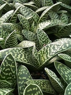 ok in full shade Gasteria liliputana Hybrid Growing Succulents, Succulents In Containers, Cacti And Succulents, Planting Succulents, Succulent Landscaping, Succulent Gardening, Cactus Planta, Cactus Y Suculentas, Unusual Plants
