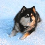 Finnish Lapphund photos