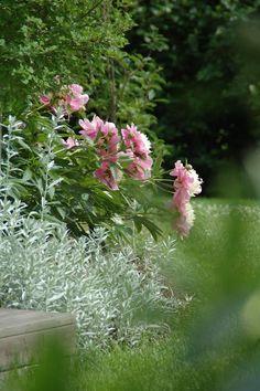 pioni Bowl of Beauty Cottage Garden Plan, Cottage Garden Design, Cottage Gardens, Pink Garden, Colorful Garden, Beautiful Flower Quotes, Unique Cottages, Green Life, Plein Air
